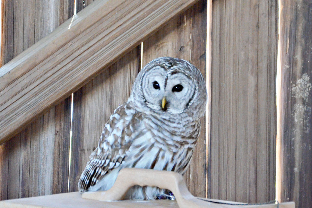 This barred owl was born at the Northern Spotted Owl Breeding Program in North Langley. Because it's not a native bird, it will never be released into the wild. It has moved west and forces out local species such as the northern spotted owl. (Heather Colpitts/Langley Advance)