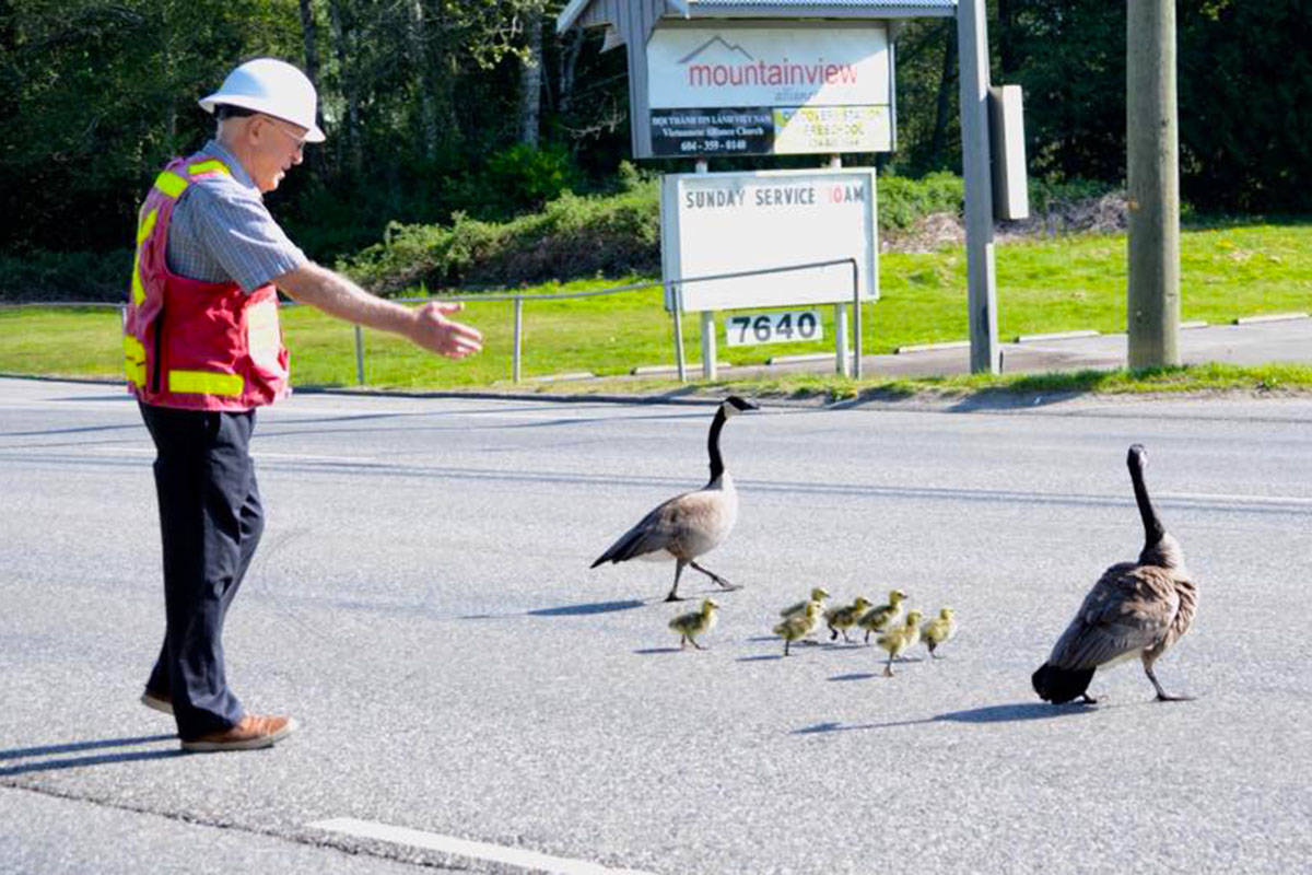 Hank Hamstra helped a family of geese cross 200th Street in Langley Township, one of the area's busiest roadways. (Laurel Thomas photo)