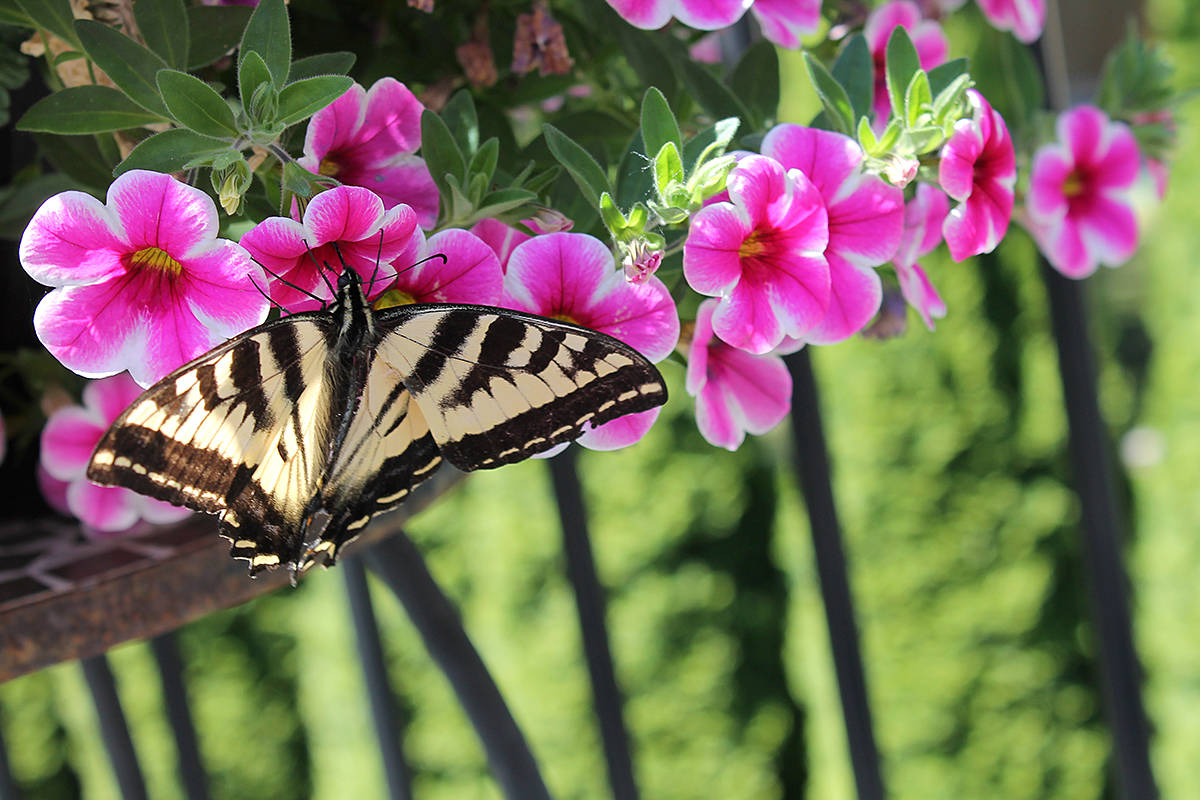 Anngela Bayer took pictures of nectar loving creatures, namely butterflies, dragonflies, and hummingbirds, in the backyard of her Brookswood home ner 44th Avenue and 200th Street. (Anngela Bayer/Special to the Langley Advance)