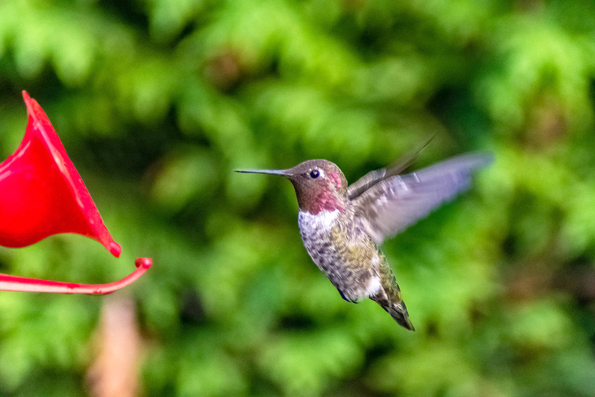 Bob Nystrom caught these pictures of hummingbirds and bees in his backyard, as well as at Sendall Gardens in Langley City. (Bob Nystrom/Special to the Langley Advance)