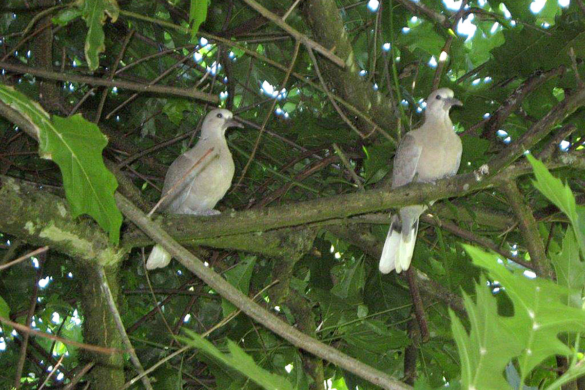 """Black around the necks of these two """"twins,"""" confirmed for Bob and Marjory Vickers that they were baby Eurasian collared doves. """"We thought they were mourning doves, until we checked our bird books,"""" Bob shared. The duo had just left their nest in an oak tree in the backyard of their Walnut Grove home earlier this month, and hung around for a picture. (Bob Vickers/Special to the Langley Advance)"""