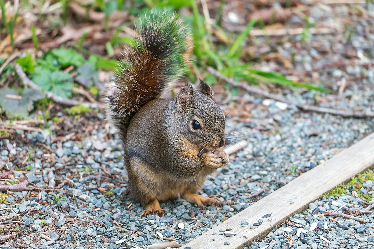 It was feasting time for birds and squirrels alike at Campbell Valley Regional Park while Langley's Breanna Woodward was there. (Special to the Langley Advance)