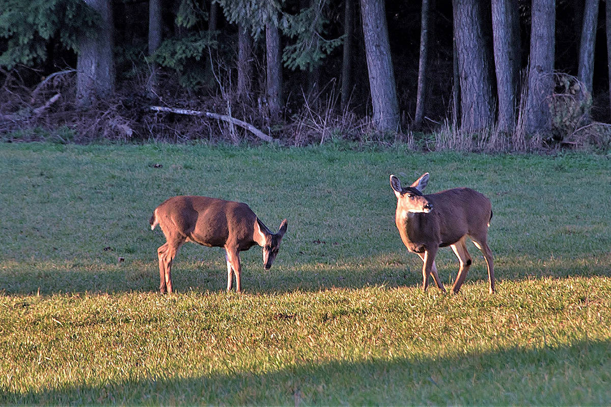 Carmen Braun shares a number of wildlife images with us, including birds she's spotted in Campbell Valley Regional Park. (Special to the Langley Advance)