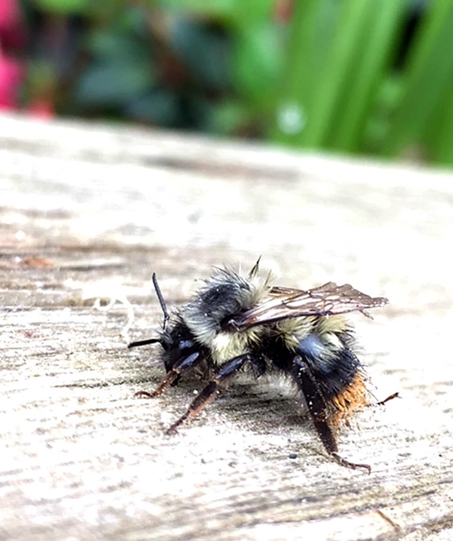 Johanna Jordan, age 12, caught the actions of this bumblebee. (Johanna Jordan/Special to the Langley Advance)