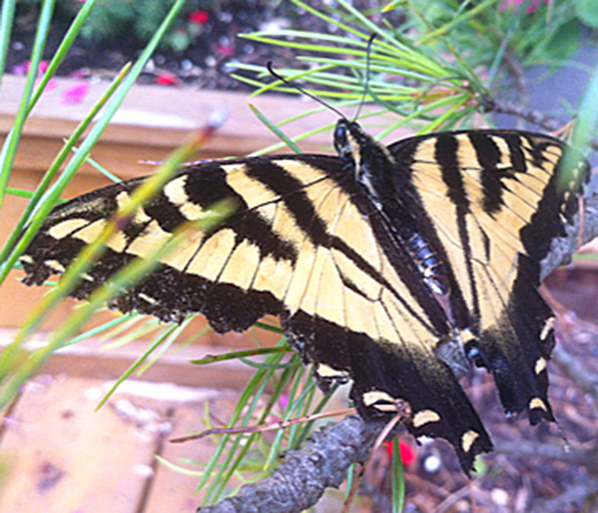 Lauren Costello, six, took a picture of a yellow tiger swallowtail butterfly in the backyard of their family home in the Hyland Creek area of Langley, near The Redwoods Golf Course. (Lauren Costello/Special to the Langley Advance)