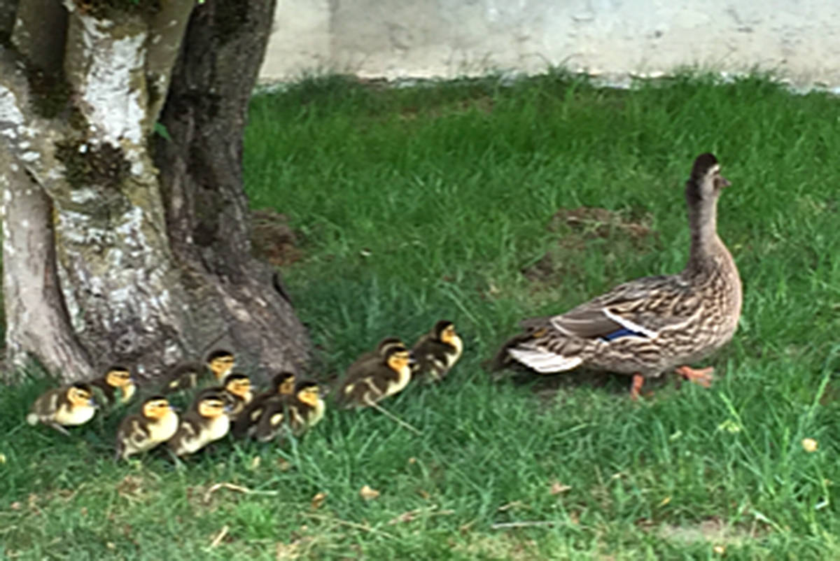 Elizabeth Jordan, 10, observed these ducks walking through the neighbour's yard in the Hyland Creek area of Langley, near The Redwoods Golf Course. (Elizabeth Jordan/Special to the Langley Advance)