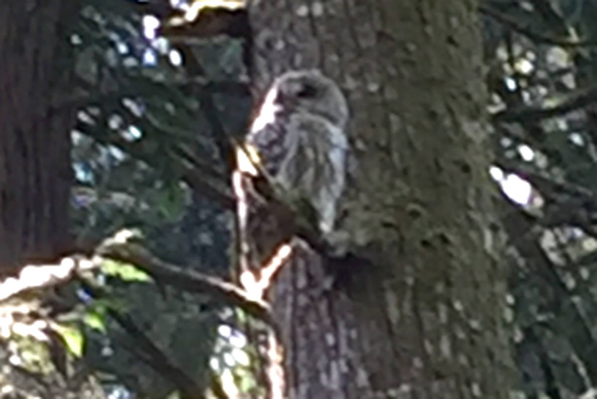 Eight-year-old Riley Costello spotted this barred owl in the ravine by a trail leading to Topham Elementary. (Riley Costello/Special to the Langley Advance)