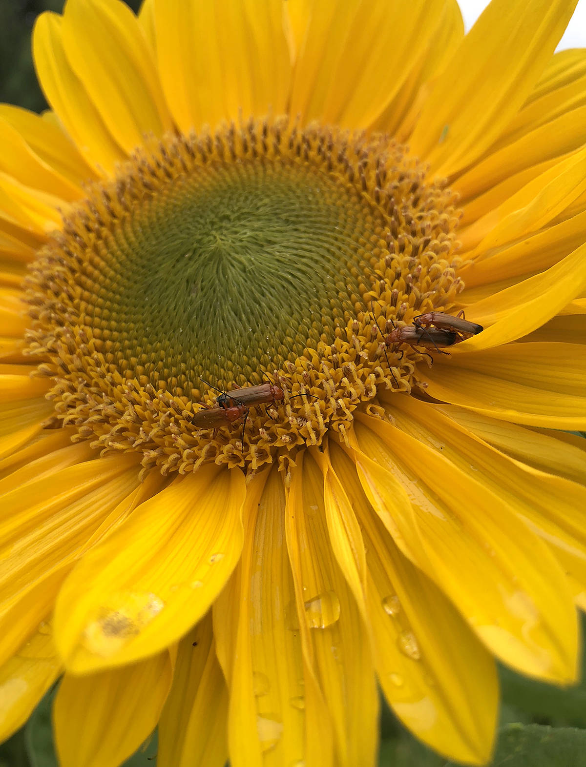 Denaye Dorge took this bee picture in the backyard of a Walnut Grove home. (Special to the Langley Advance)