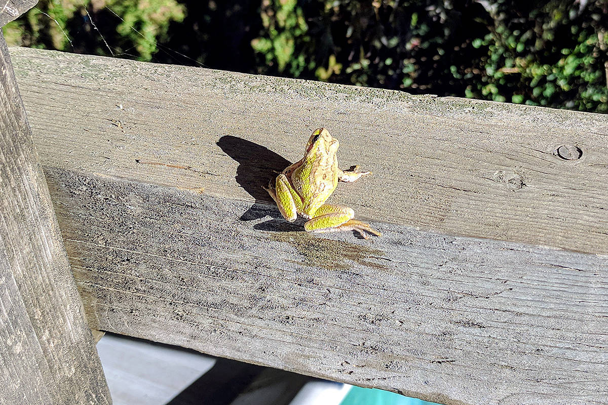 Cindy Munn caught this frog picture in her sister's backyard in Aldergrove. (Cindy Munn/Special to the Langley Advance)