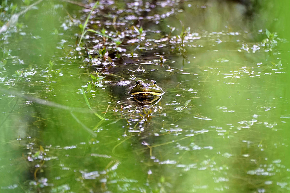 Campbell Valley Regional Park is home to a lot of frogs, as Colin McQuillan can attest. (Colin McQuillan/Special to the Langley Advance)