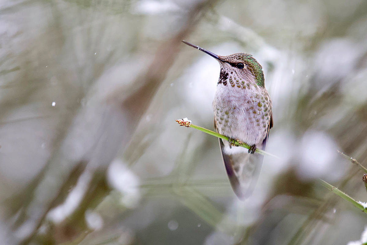 An Anna's hummingbird was spotted in Colin McQuillan's backyard this past winter, near City Park. (Colin McQuillan/Special to the Langley Advance)