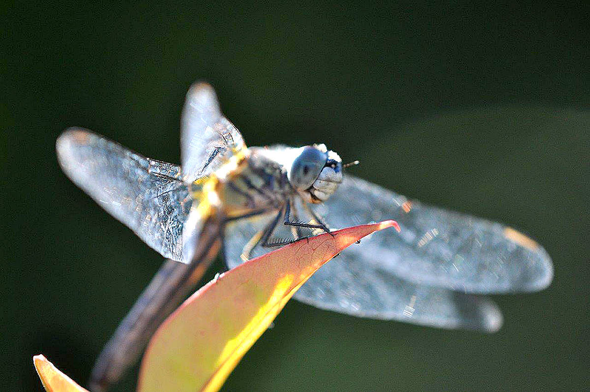 Dave Courneyea captured pictures of a dragonfly in a heavenly bamboo in the backyard of his Walnut Grove home. (Dave Courneyea/Special to the Langley Advance)