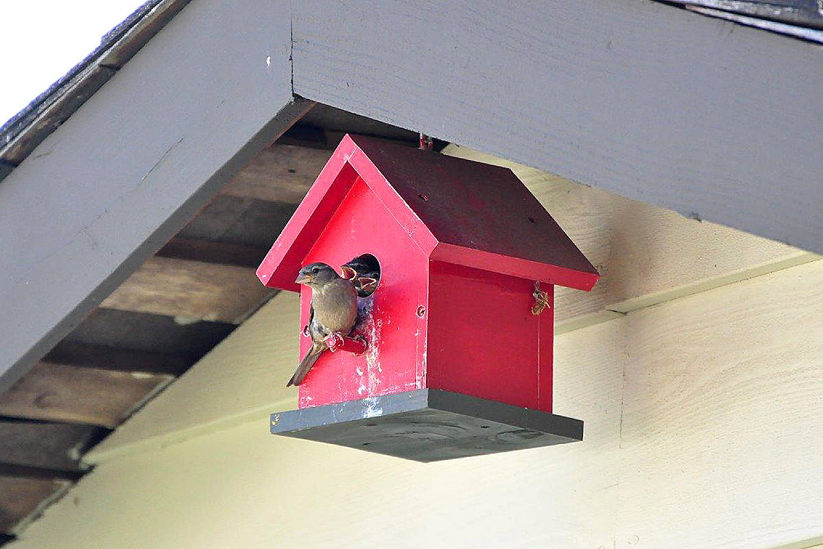 A mother chickadee in a birdhouse on the shed in Walnut Grove's Dave Courneyea's backyard. (Dave Courneyea/Special to the Langley Advance)