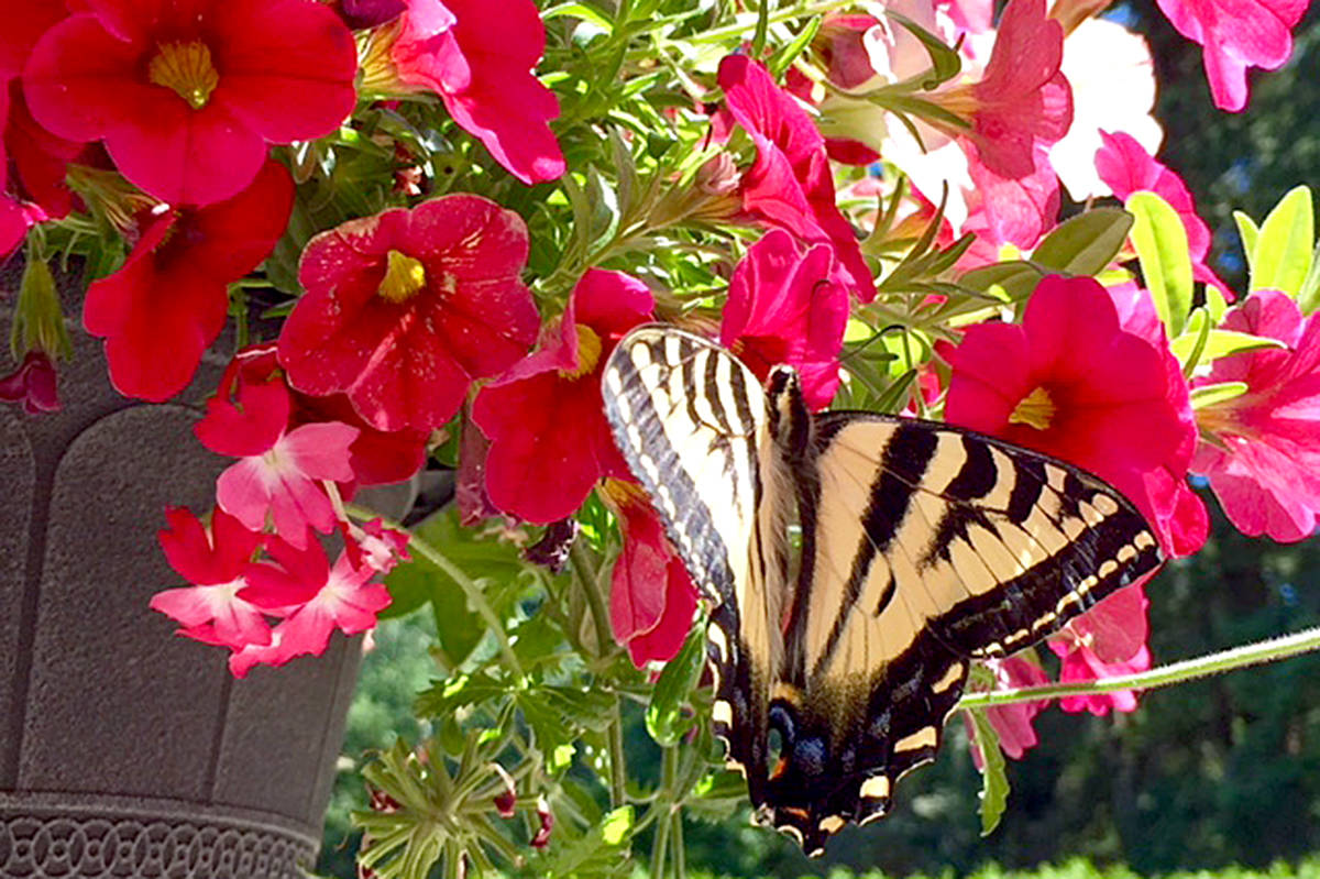 A beautiful butterfly touched down in Diana Teichrieb's backyard in Brookswood, drawn by the colour of the flowers. (Diana Teichrieb/Special to the Langley Advance)