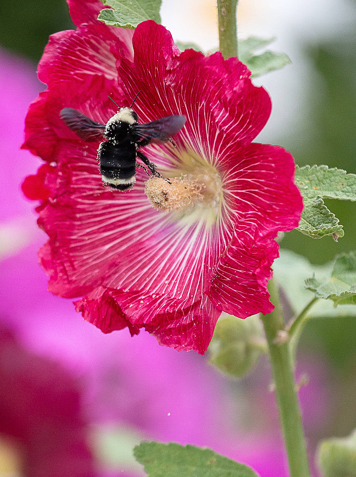 A bee visited Iris Schurz's hollyhock in her Langley City home. (Iris Schurz/Special to the Langley Advance)