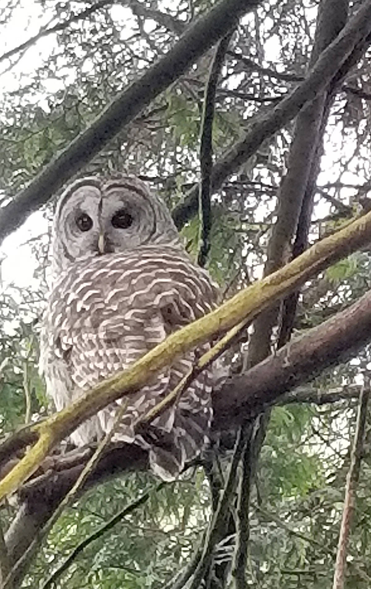 Jackie Beveridge snapped a variety of wildlife shots in her front and backyards in Brookswood, either with her SLR or camera phone. They include her favourite, the Douglas squirrels, a random garter snake she saved from a crow, and a young barred owl that hangs out around the ravine near their home. (Special to the Langley Advance)