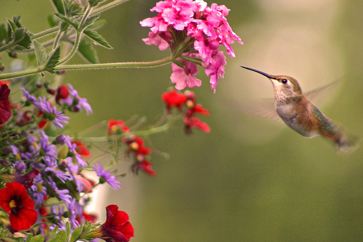 Both of these winged creatures were spotted at Lynn Durnin's residence in Brookswood, the hummingbird feasting on one of her hanging baskets while the dragonfly took a break in her backyard. (Lynn Durnin/Special to the Langley Advance)