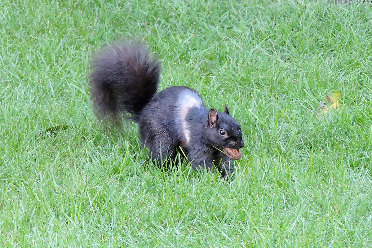 "Nancy Goertzen of Walnut Grove spotted this little ""unusual looking"" squirrel in her backyard. (Nancy Goertzen/Special to the Langley Advance)"