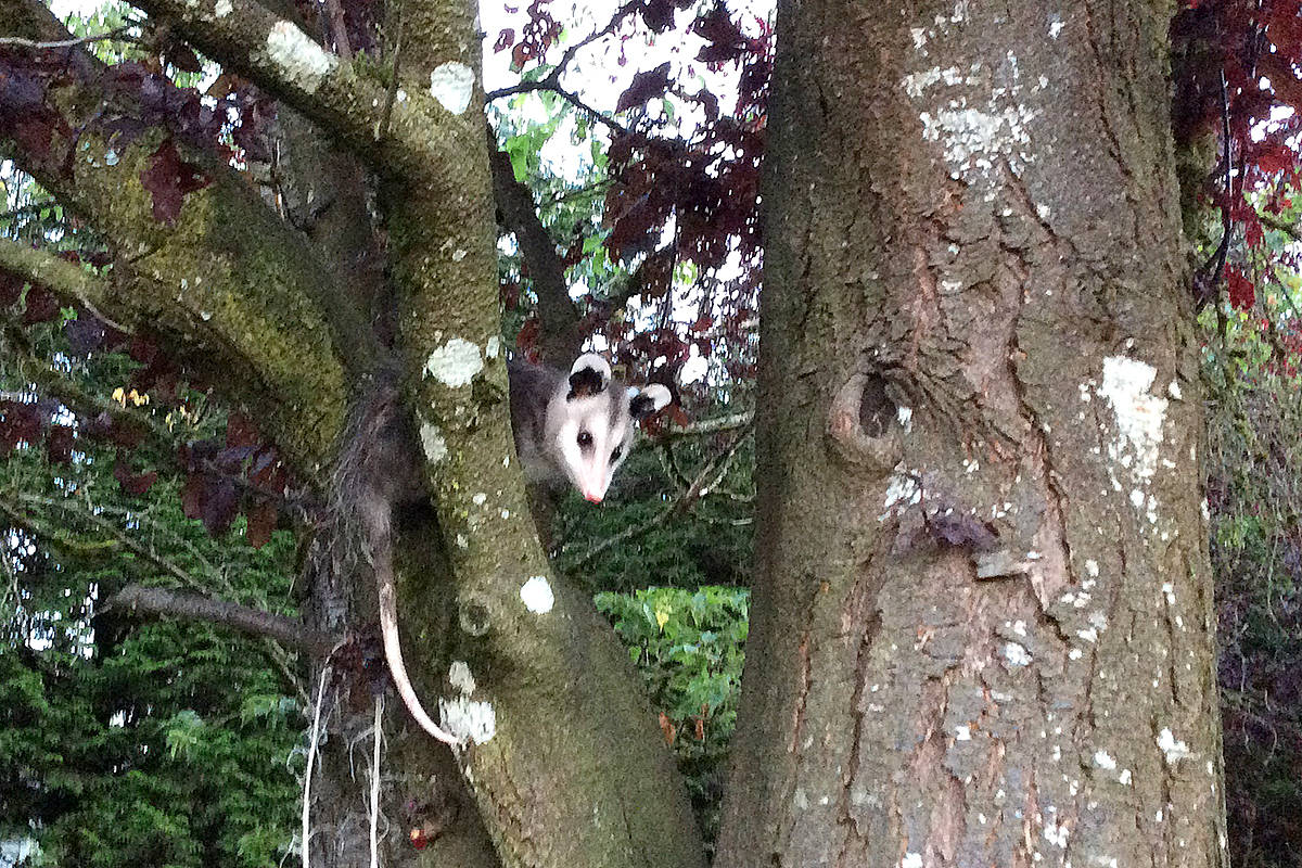 """Early one morning, this little possum came to visit the bird feeder at Nancy Hunter's North Otter home. """"When he saw us, he scurried up the tree."""" (Nancy Hunter/Special to the Langley Advance)"""
