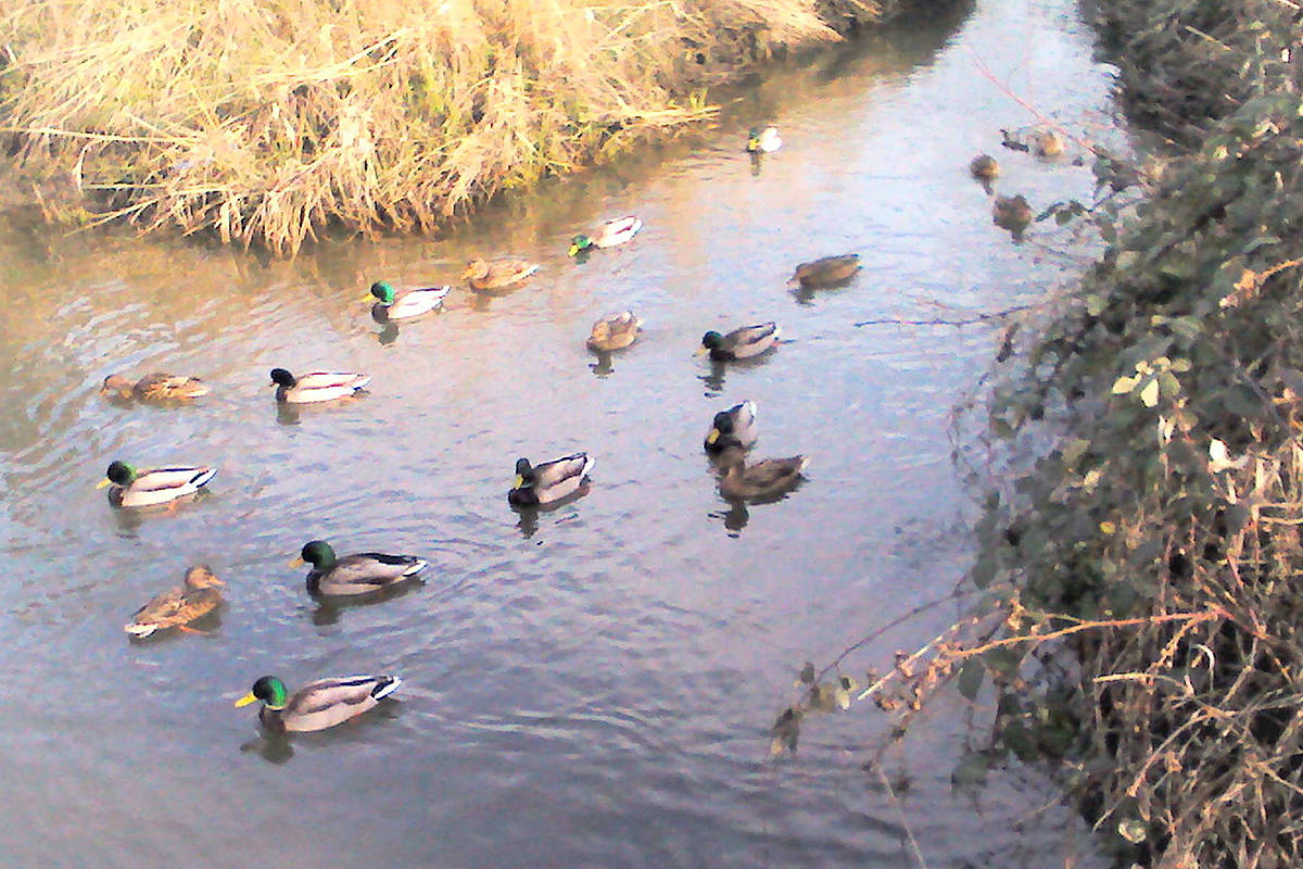 Ronald Grams snapped a few shots of ducks swimming around in Logan Creek, near Duncan Way and Glover Road in Langley City. (Ronald Grams/Special to the Langley Advance)