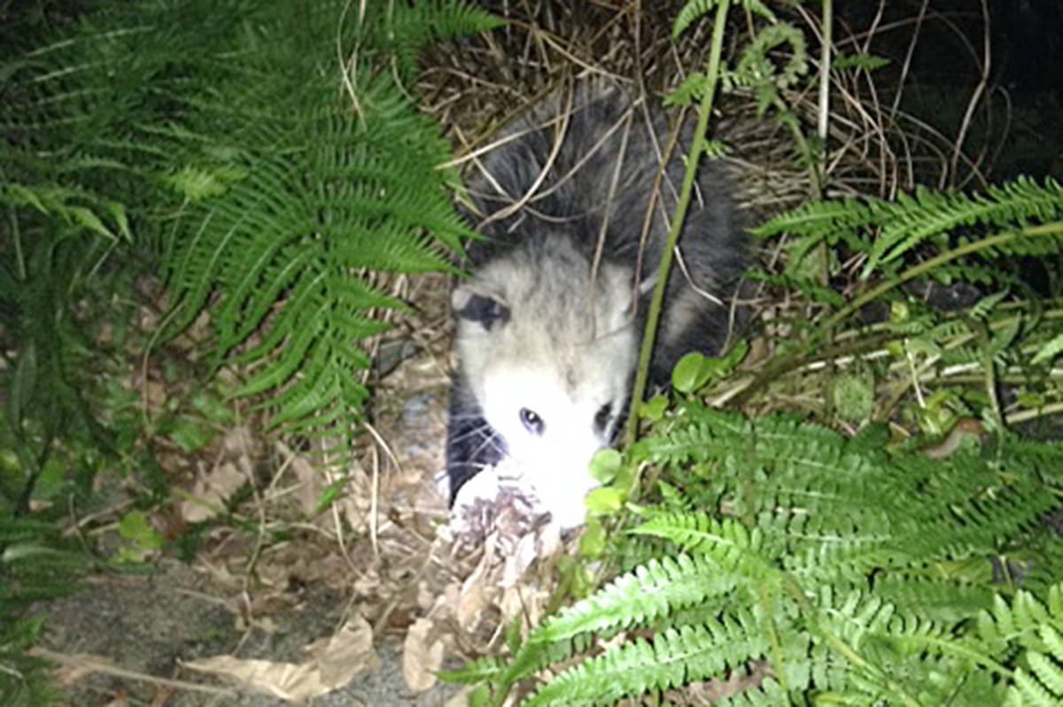 """The common phrase, awesome possum, took on a more realistic meaning for Murrayville's Shauna Frankelson. Her dog was barking """"his face off"""" one night about 11 p.m. She went outside to find this """"sweet possum"""" by her pond. """"Yes, I had to pet it."""" (Shauna Frankleson/Special to the Langley Advance)"""