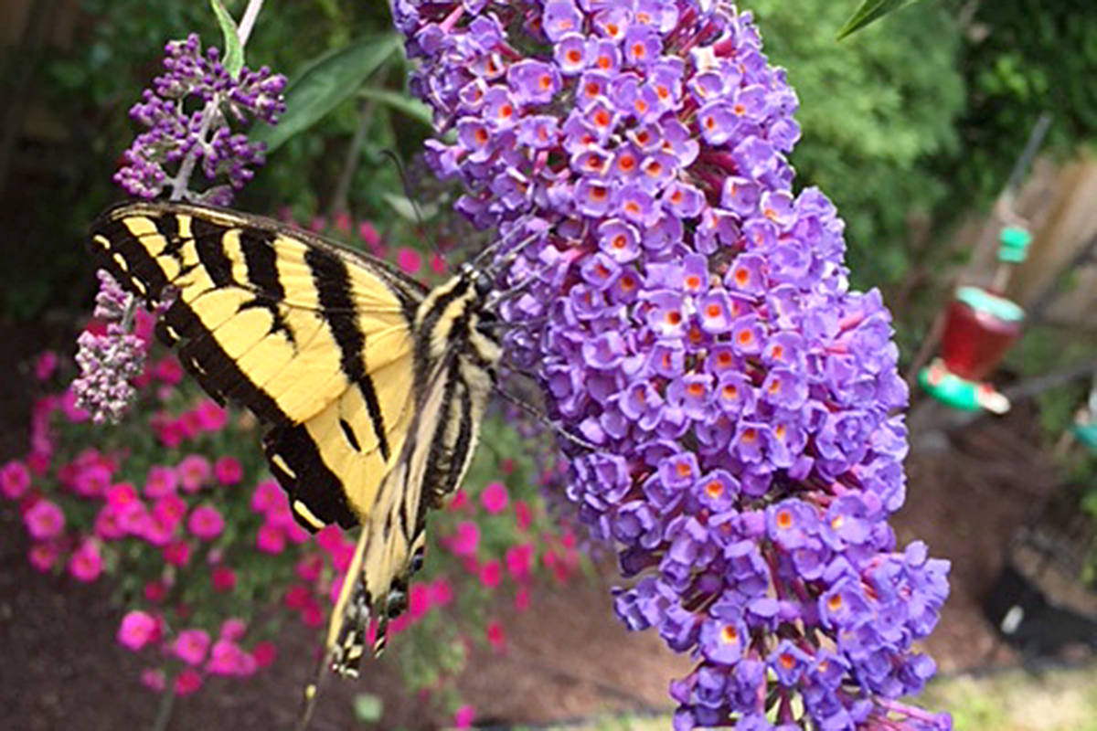 """A butterfly bush in Kat Winter's Murrayville yard is doing it's job. It's attracting the stunning insects. """"The same two butterflies, who hang out in our yard together (they must be in love)"""" just keep visiting. (Kat Winters/Special to the Langley Advance)"""