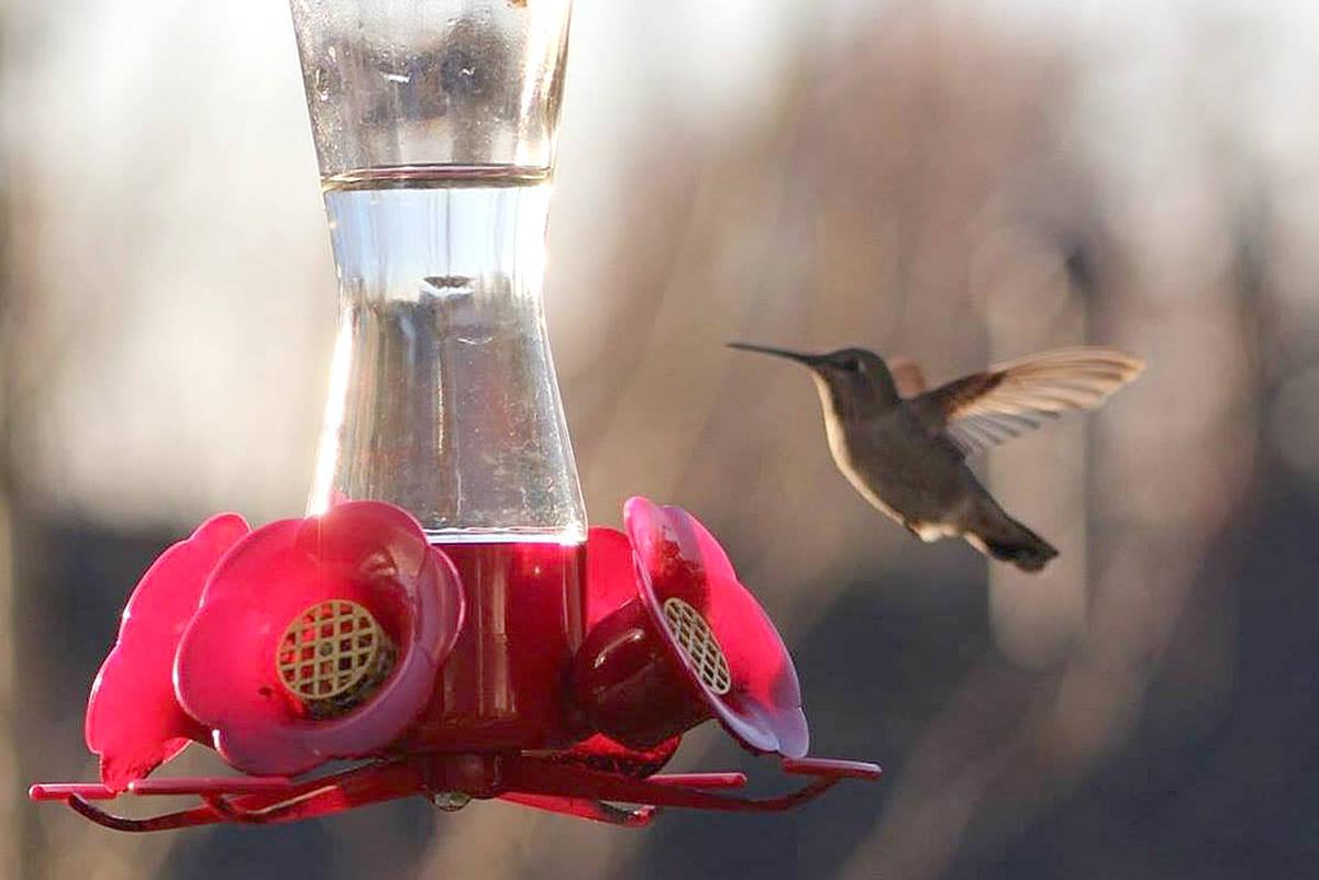 Lisa Vanderven captured this picture of a hummingbird seeking nectar in her Aldergrove backyard. (Lisa Vanderven/Special to the Langley Advance)