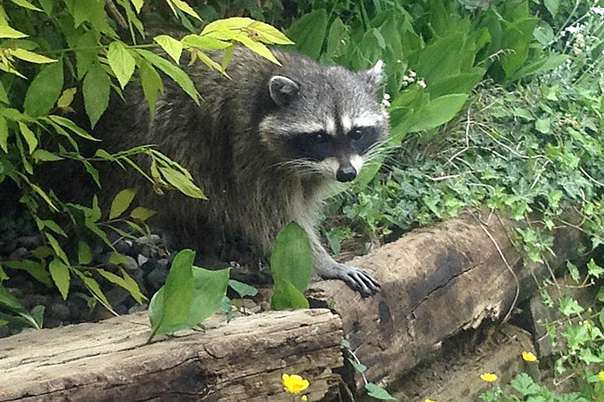 A few different critters have been spotted in Tracey McRobbie's Walnut Grove backyard over time, including this raccoon, a regular hummingbird, and a butterfly apparently passing through. (Tracey McRobbie/Special to the Langley Advance)