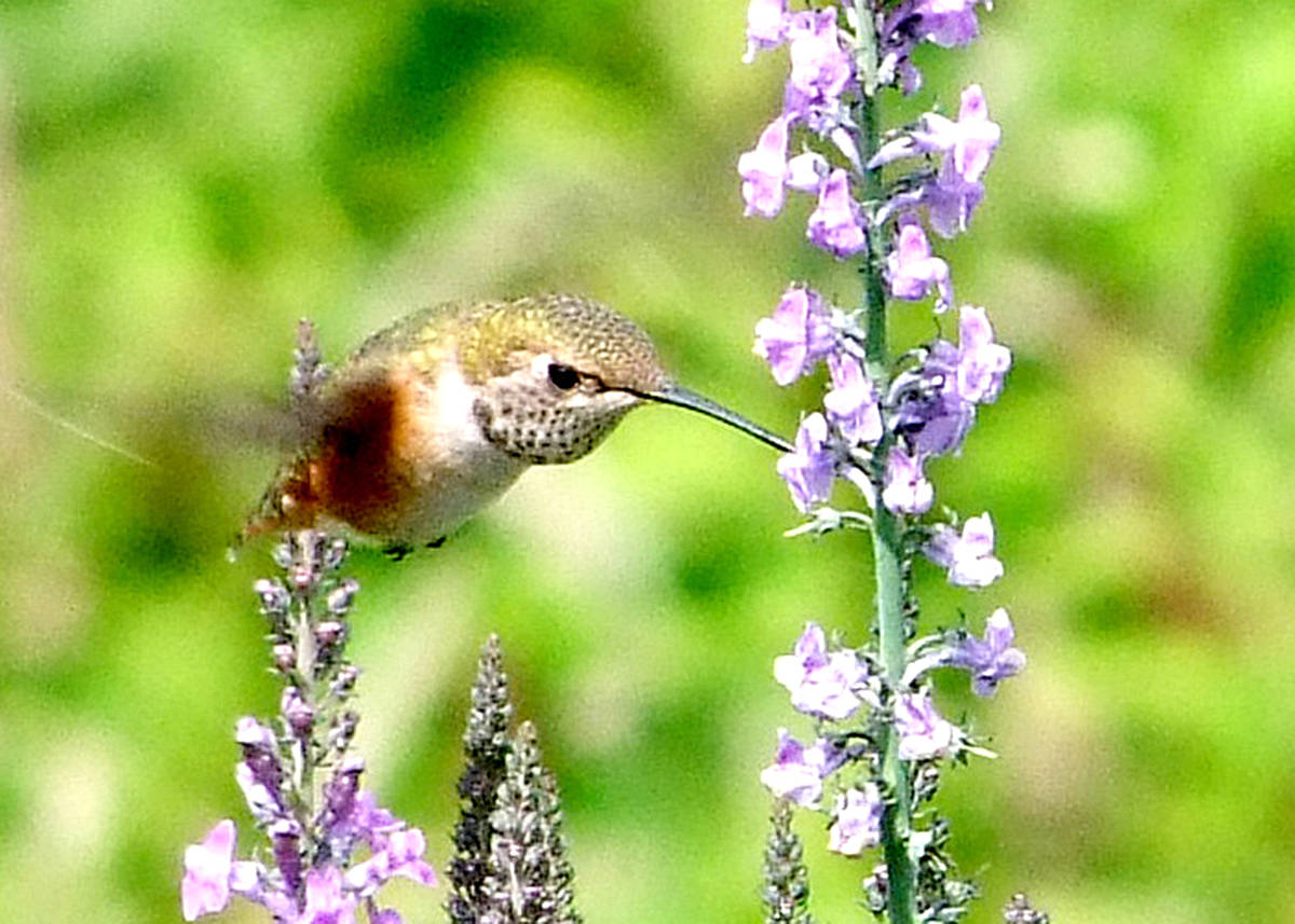 Trudy DeVries lives in Langley city, and is visited regularly by hummingbirds. She set up a tripod to help her capture the fast moving nectar seekers, as well as a hawk that landed on one of her lawn chairs. (Trudy DeVries/Special to the Langley Advance)