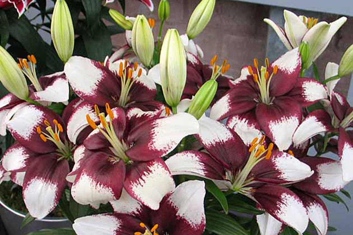 Lilies Bloom For Summer In Langley Langley Advance Times