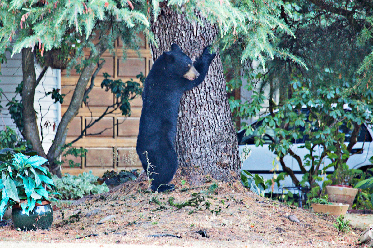 A bear was spotted in the Yorkson area on Tuesday evening. (Robert Currie photo)