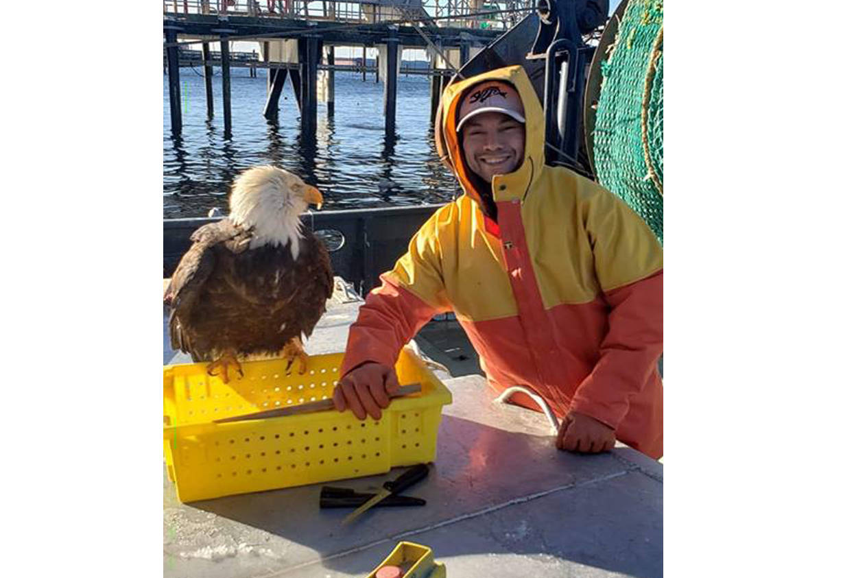 Mathias Gilbert posted two videos on social media Feb. 3 of an eagle landing nearby on a vessel while he slices fish. Photo by Mathias Gilbert/Facebook