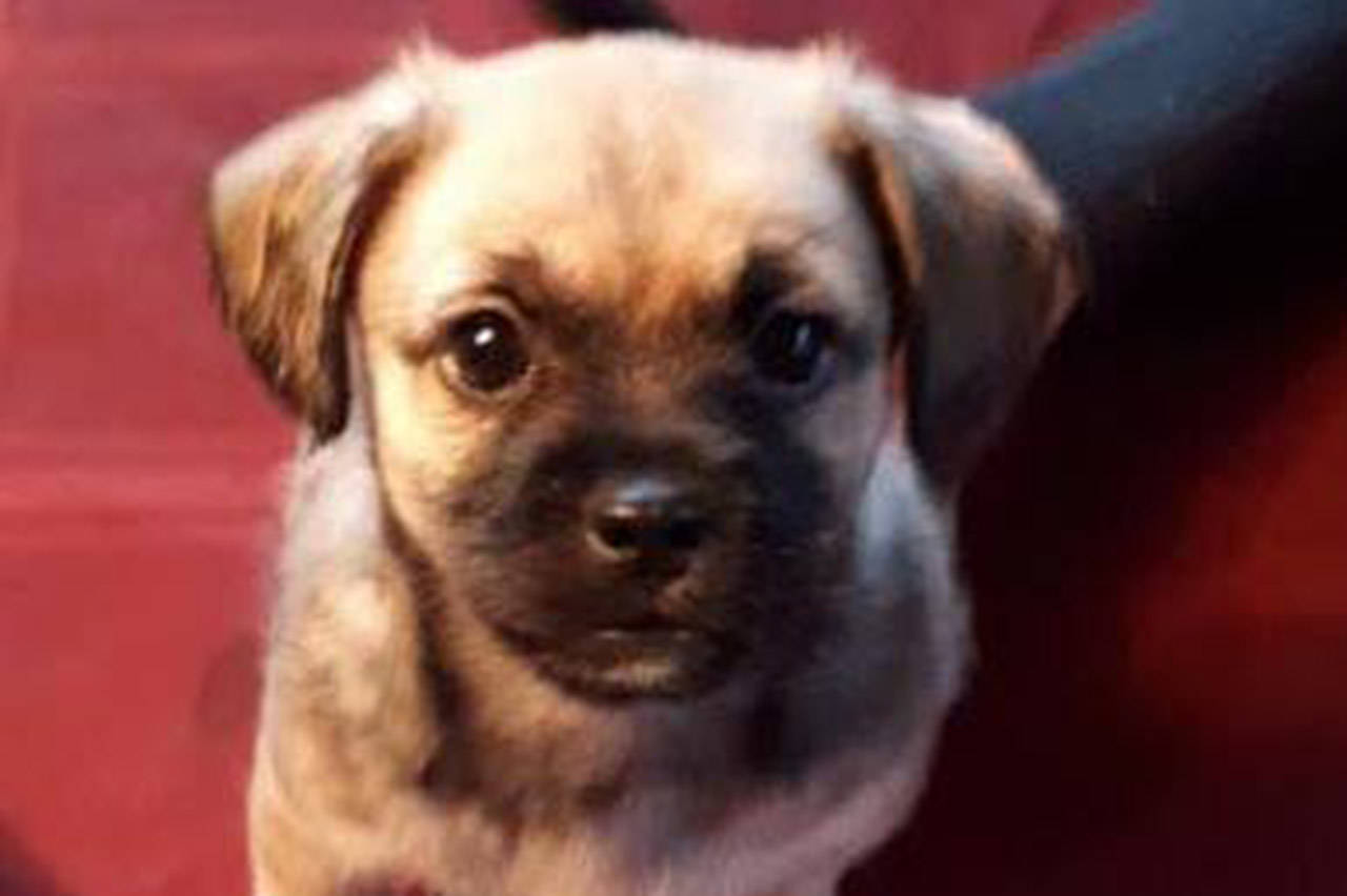 Skittles is beleived to be a Shih tzu/pug/ Jack Russell cross whose life was saved when a vet gave him Naloxone. (Facebook/ Victoria Humane Society)