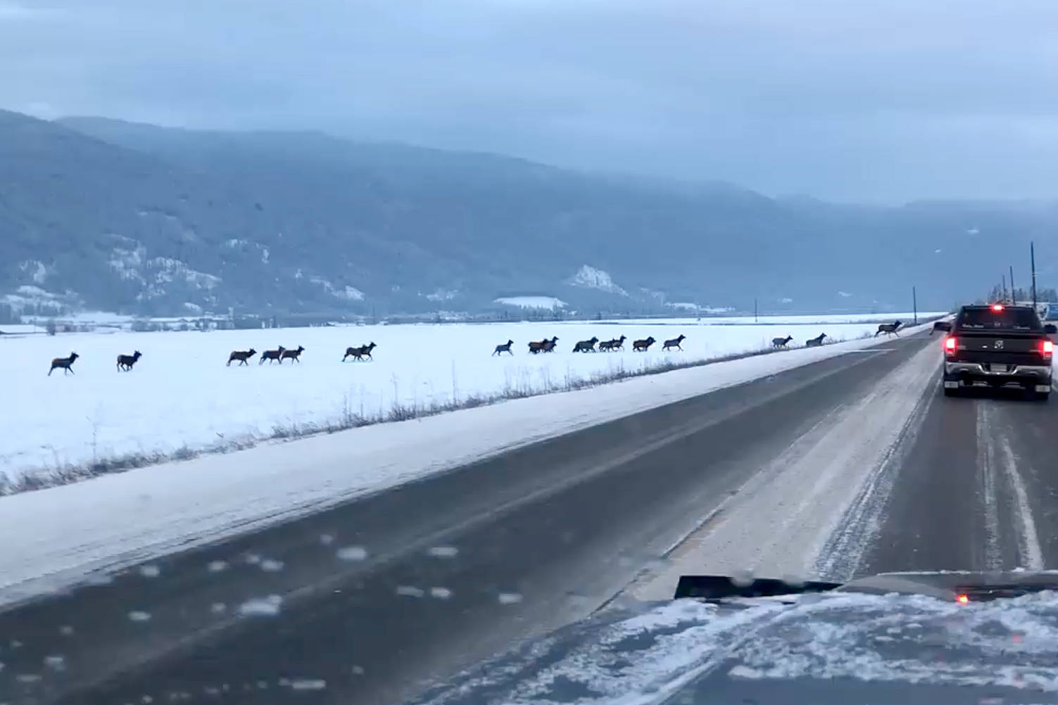 Elk herd crosses highway in B.C.'s Okanagan