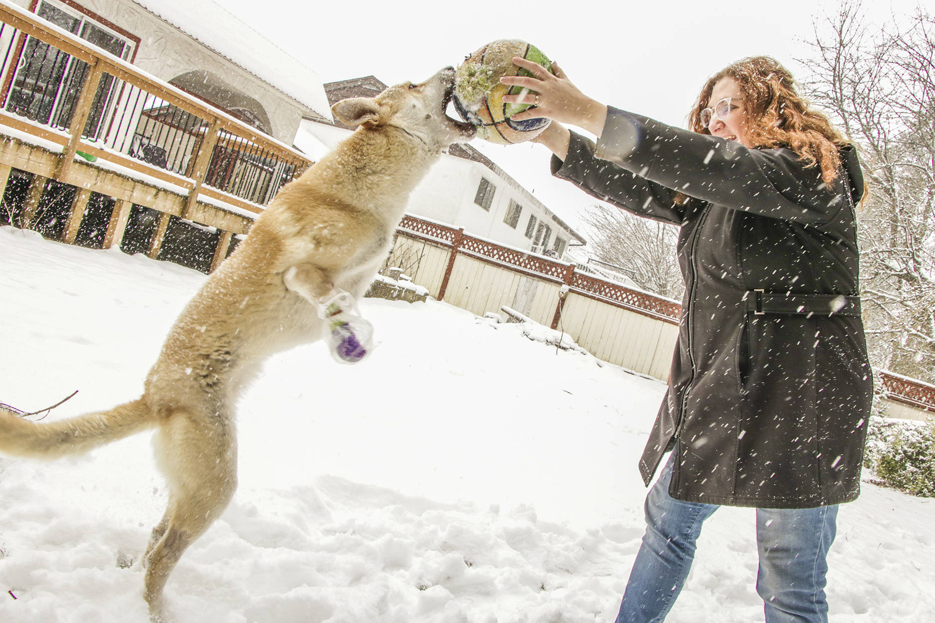 Despite underdeveloped front legs, Roo has little problem standing tall and playing with Julie Horncastle, her human companion who is fostering the Iranian-born canine with the intention of adopting.                                Dustin Godfrey/Abbotsford News