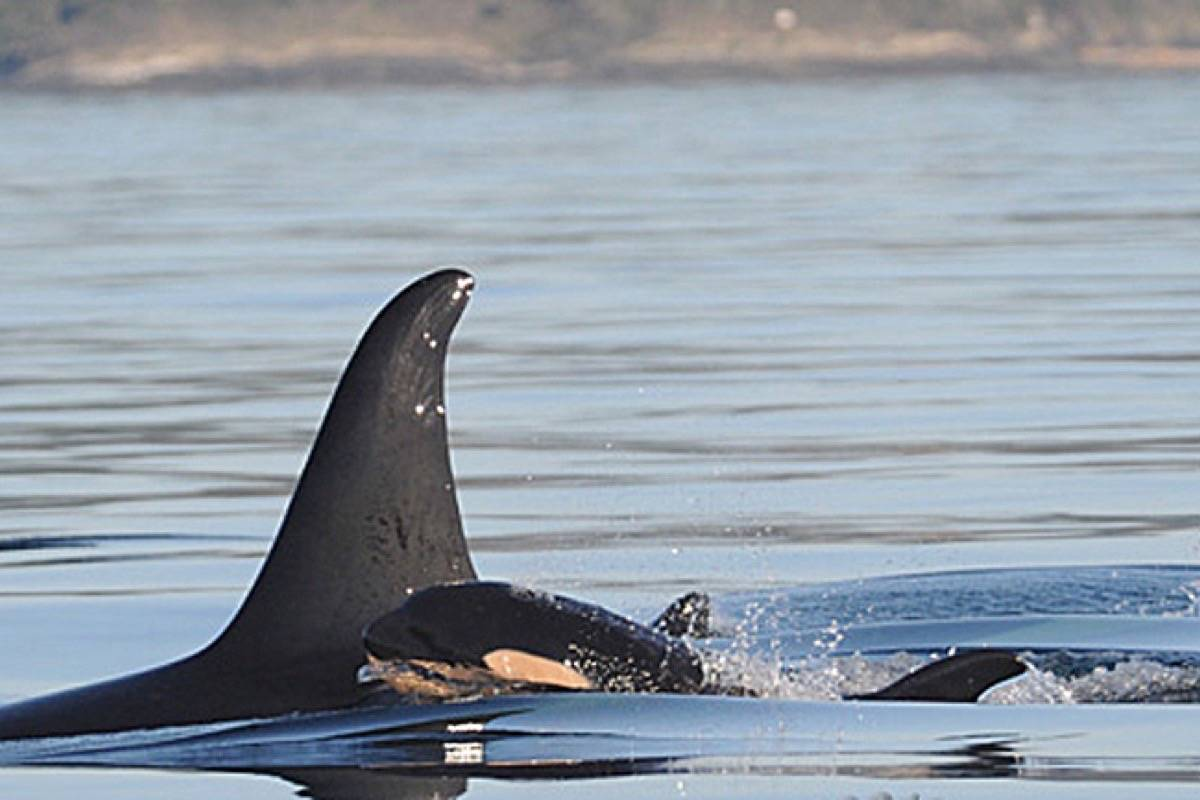 The southern resident killer whale population depends heavily on salmon, and is affected by ship traffic in its feeding and migration areas. (Black Press files)