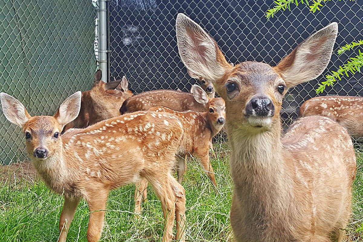 The wildlife rehabilitation centre looks after mammals, such as fawns. (Critter Care photo)