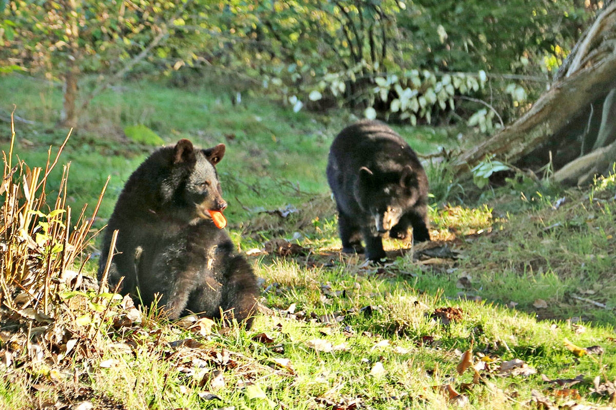 The Greater Vancouver Zoo sent out photos and video of three baby black bears that were born in Alaska. They arrived at the zoo in Aldergrove in early September.