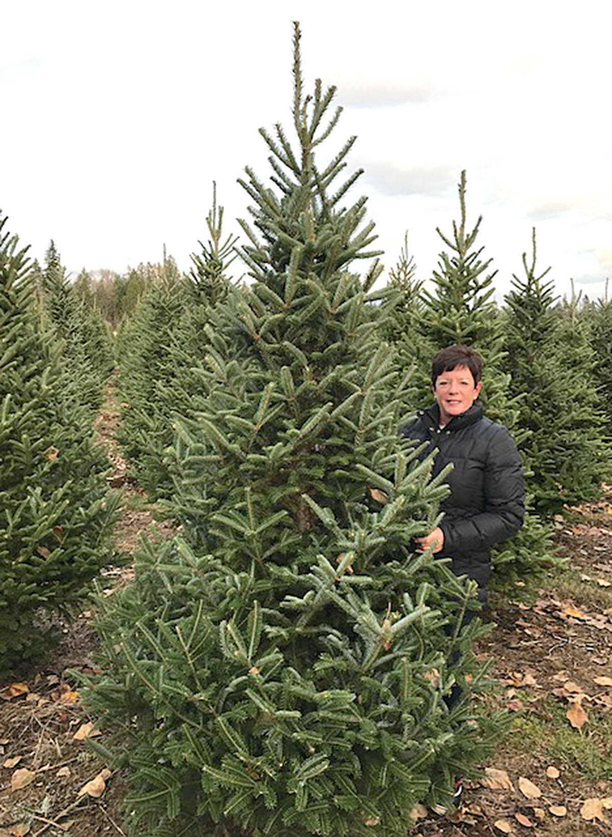 Wendy McGuire has Churchland Christmas Tree Farm on 248th Street. The Fraser fir is expected to be the most popular Christmas tree this year. (Special to the Langley Advance)