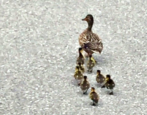 UPDATE: Mom and her eight ducklings depart Langley parking lot