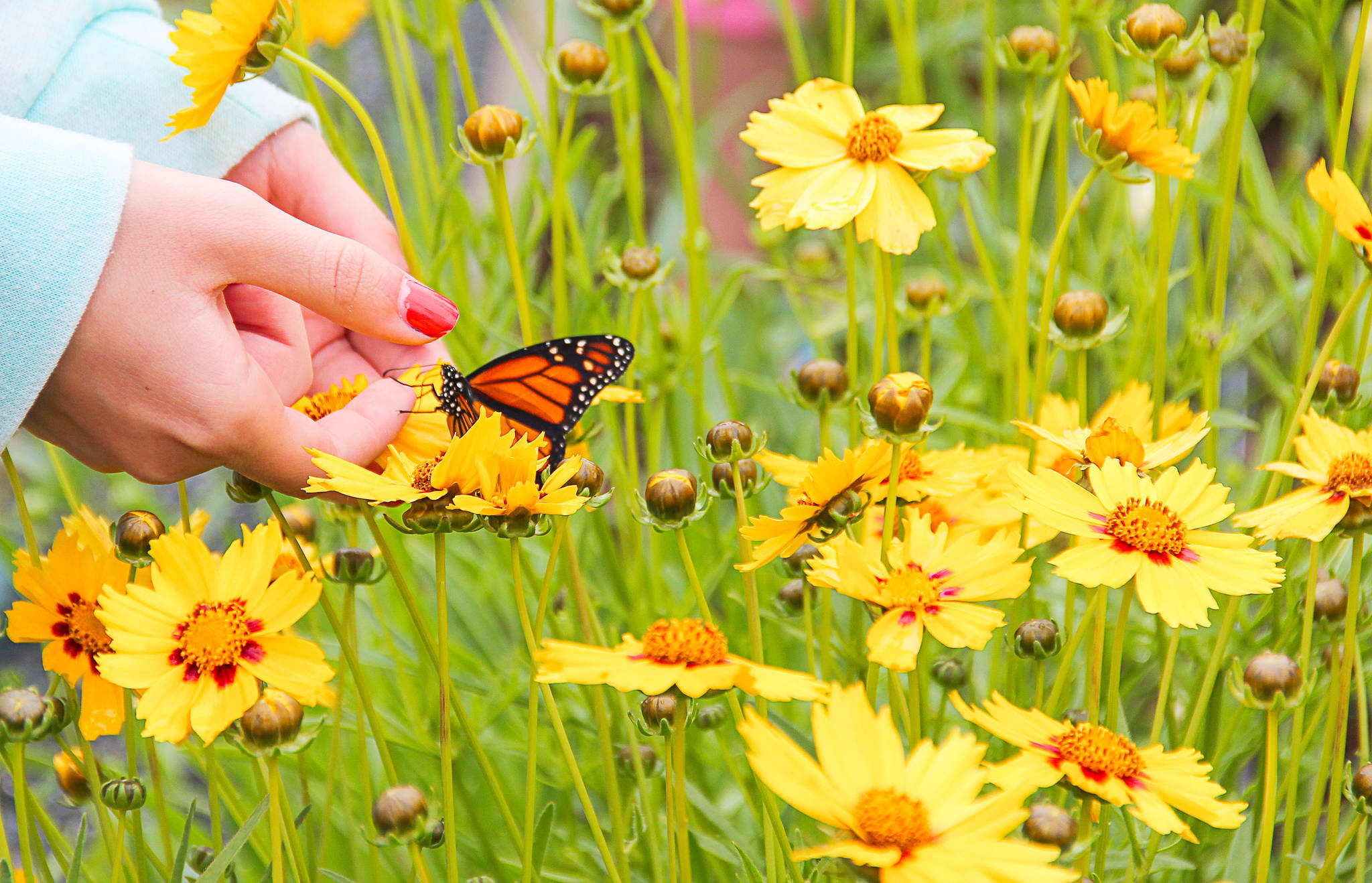 With the gardens at Krause Berry Farms always expanding, the butterflies are tending to stick around longer than ever after the annual fundraising release. (Special to the Langley Advance)