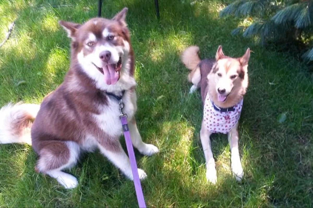 Two huskies, Kodi and Tigger, went missing in the Parksville area last Christmas Eve. (Mafawnwee Olivia Kenton/Facebook)
