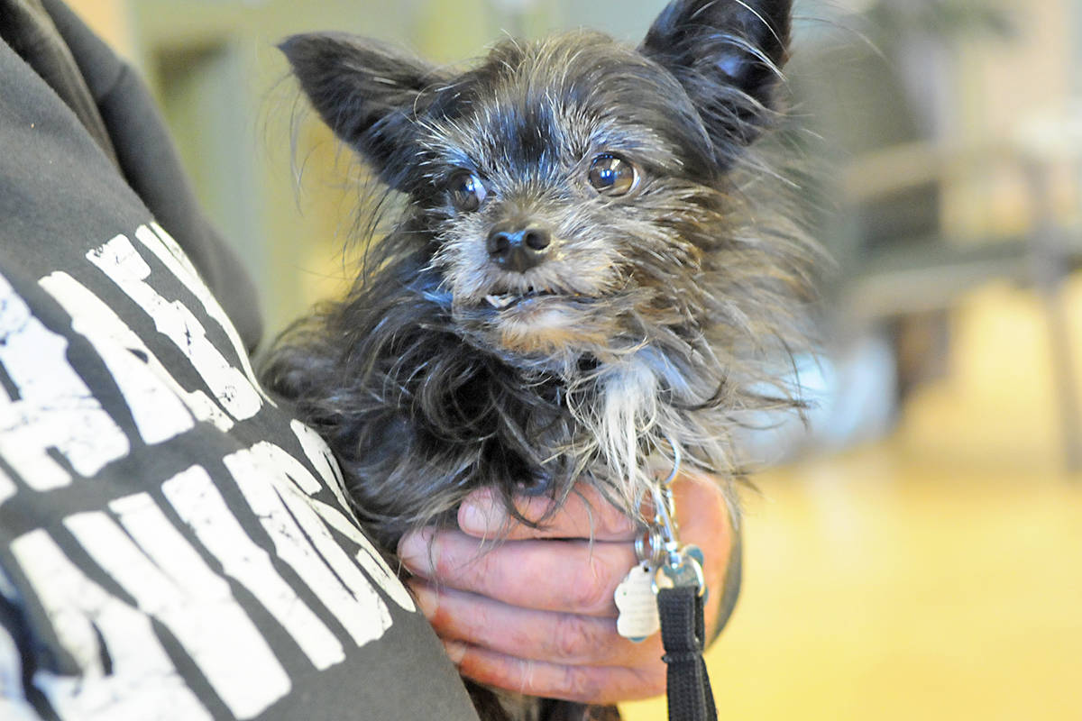 Spike, a Yorkie-Chihuahua cross was one of about 50 pets who participated in a free veterinary clinic at the Salvation Army Gateway of Hope Sunday. Dan Ferguson Langley Advance Times