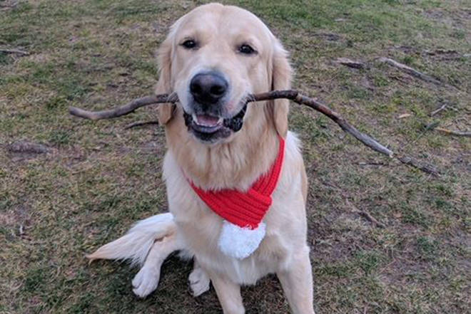 Atlas, a one and a half year old golden retriever was lured from his back yard March 8 photo: Facebook