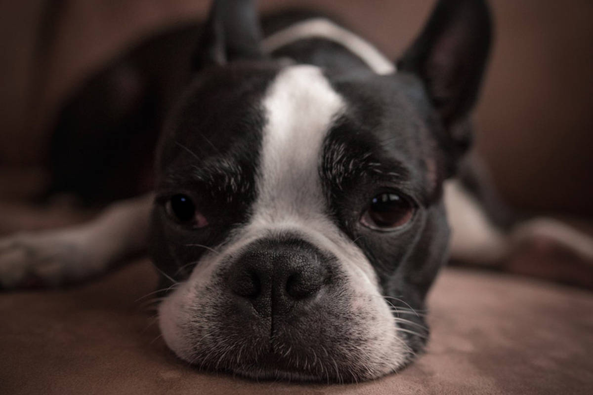 A Victoria woman has been charged with animal cruelty her Boston terrier, Ava, (not pictured) died while left in her vehicle for seven hours in extreme heat. (Unsplash)