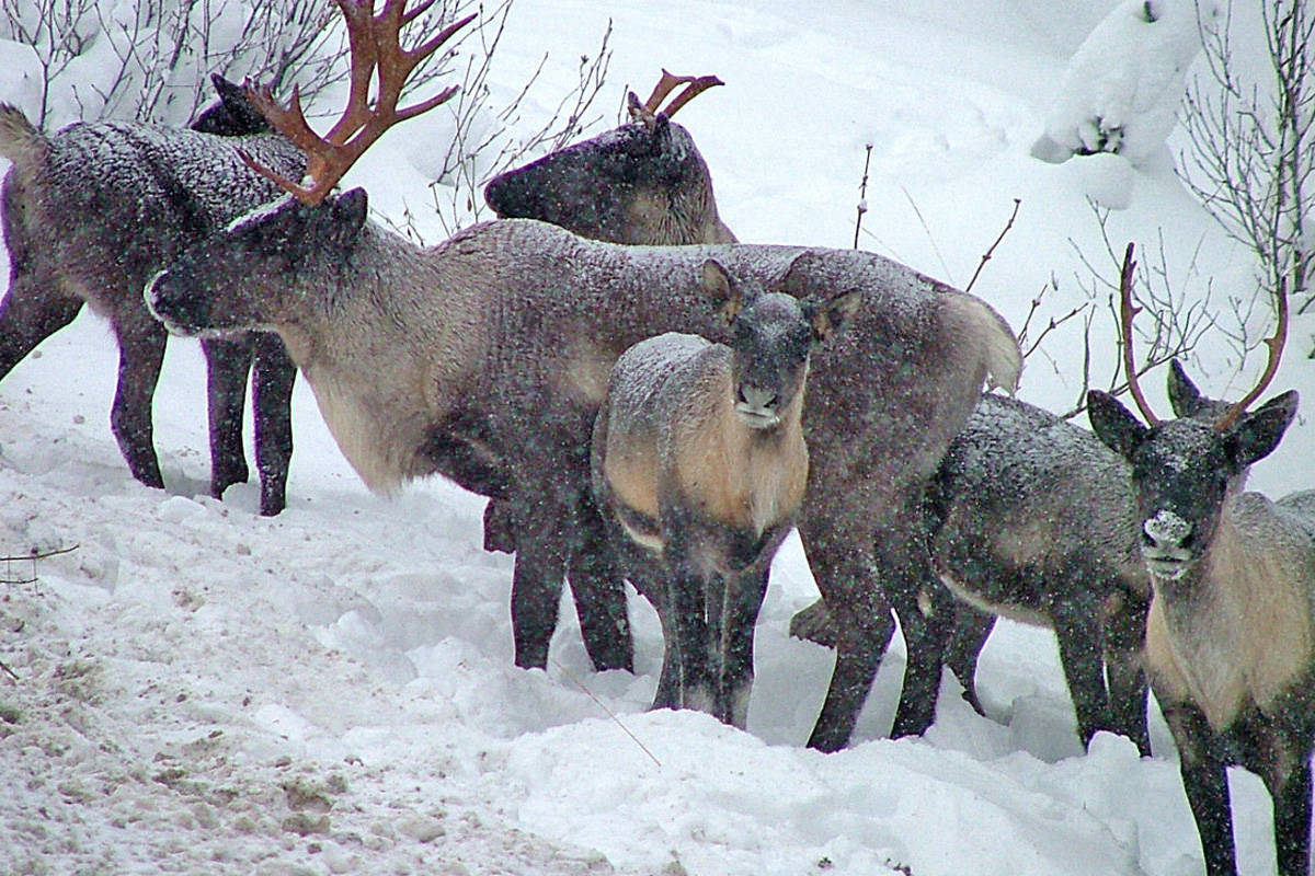 Two draft agreements on B.C. Caribou protection 'historic,' says minister