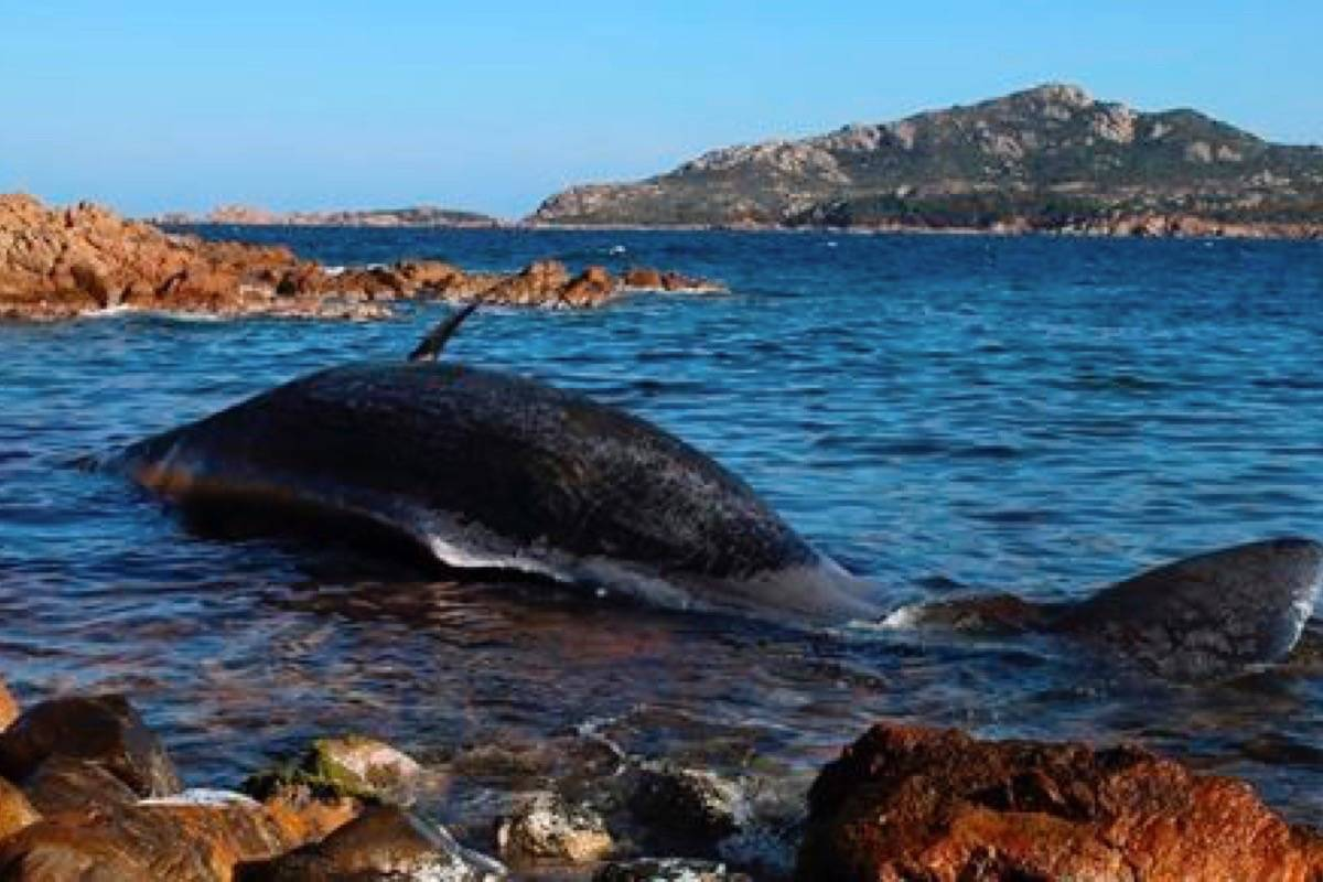 In this photo taken on Thursday, March 28, 2019 and provided by SEAME Sardinia Onlus, a dead whale lies in the water in Porto Cervo, Sardinia island, Italy. The World Wildlife Foundation is sounding the alarm over plastics in the Mediterranean Sea after an 8-meter-long sperm whale was found dead off Sardinia with 22 kilograms (48.5 pounds) of plastic found in its belly. (SEAME Sardinia Onlus via AP)