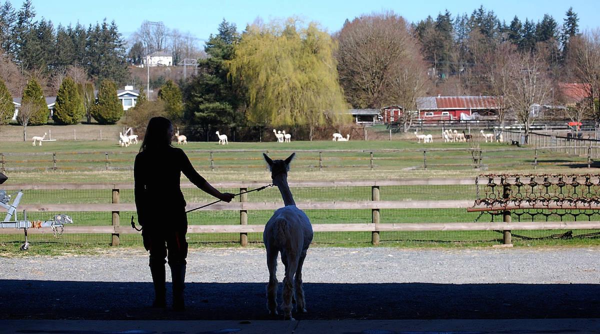 VIDEO: Spring shearing at Kensington Prairie alpaca farm