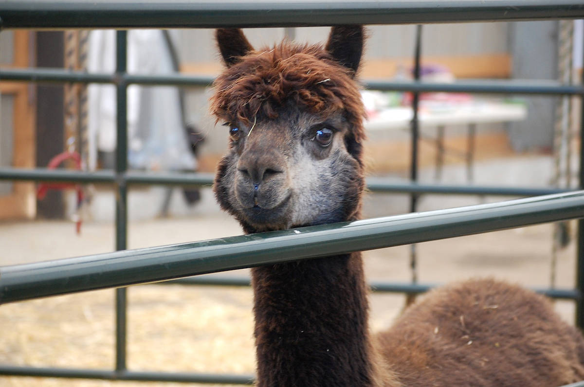 VIDEO: Spring shearing at Kensington Prairie alpaca farm