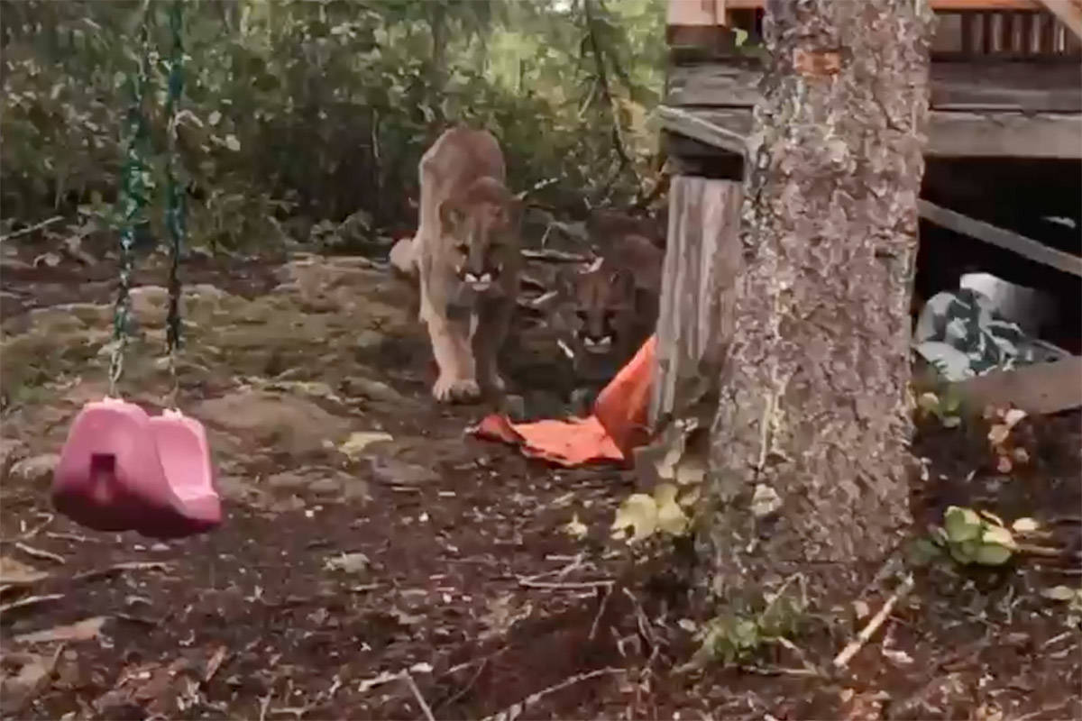 Screengrab from video by local resident Mike Germunstad shows two cougars moments before one of them lunges at his dog on April 4, 2019 in the woods just west of Campbell River.